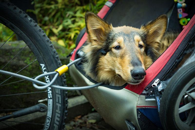 Die besten Fahrradanhänger für Hunde im Test